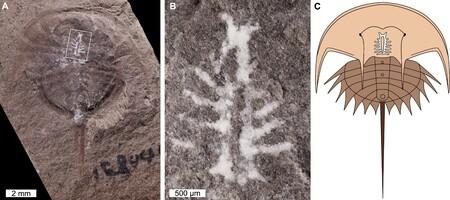 Mineral conserva el cerebro de un cangrejo de 310 millones de antigüedad.
